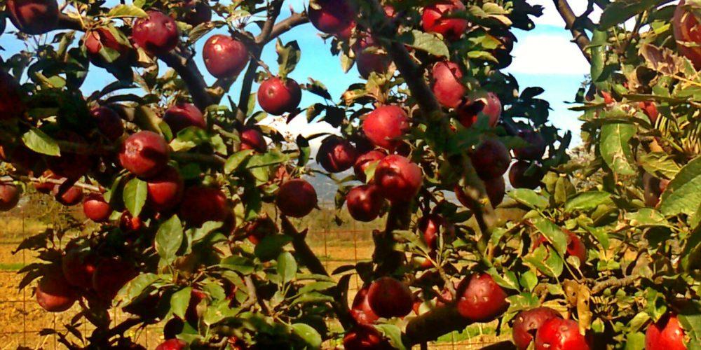 Οπωροφόρα δέντρα του κάμπου- Fruit bearing trees of Lasithi's plain