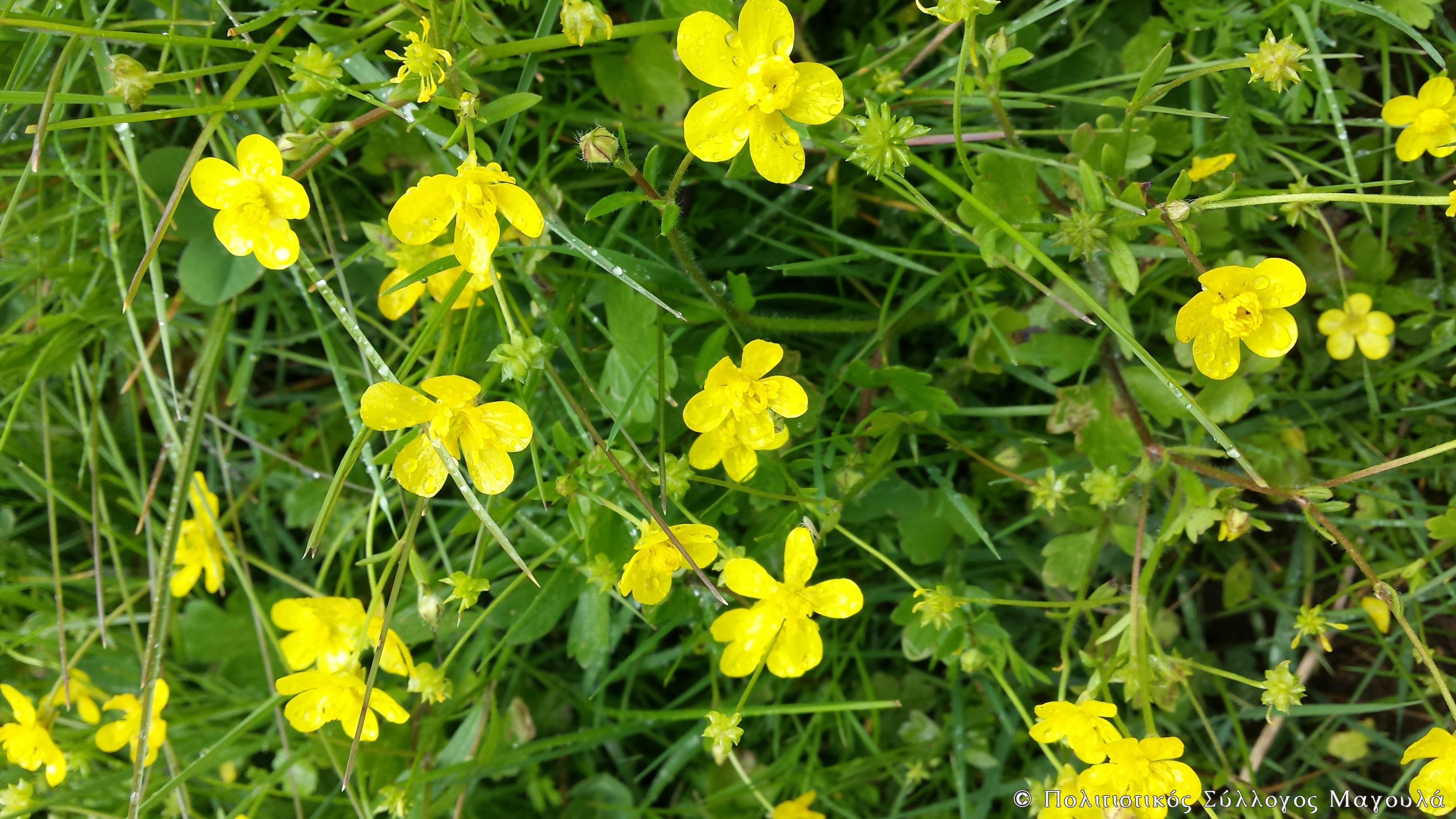 Λουλούδια του κάμπου- Flowers of lasithi plain