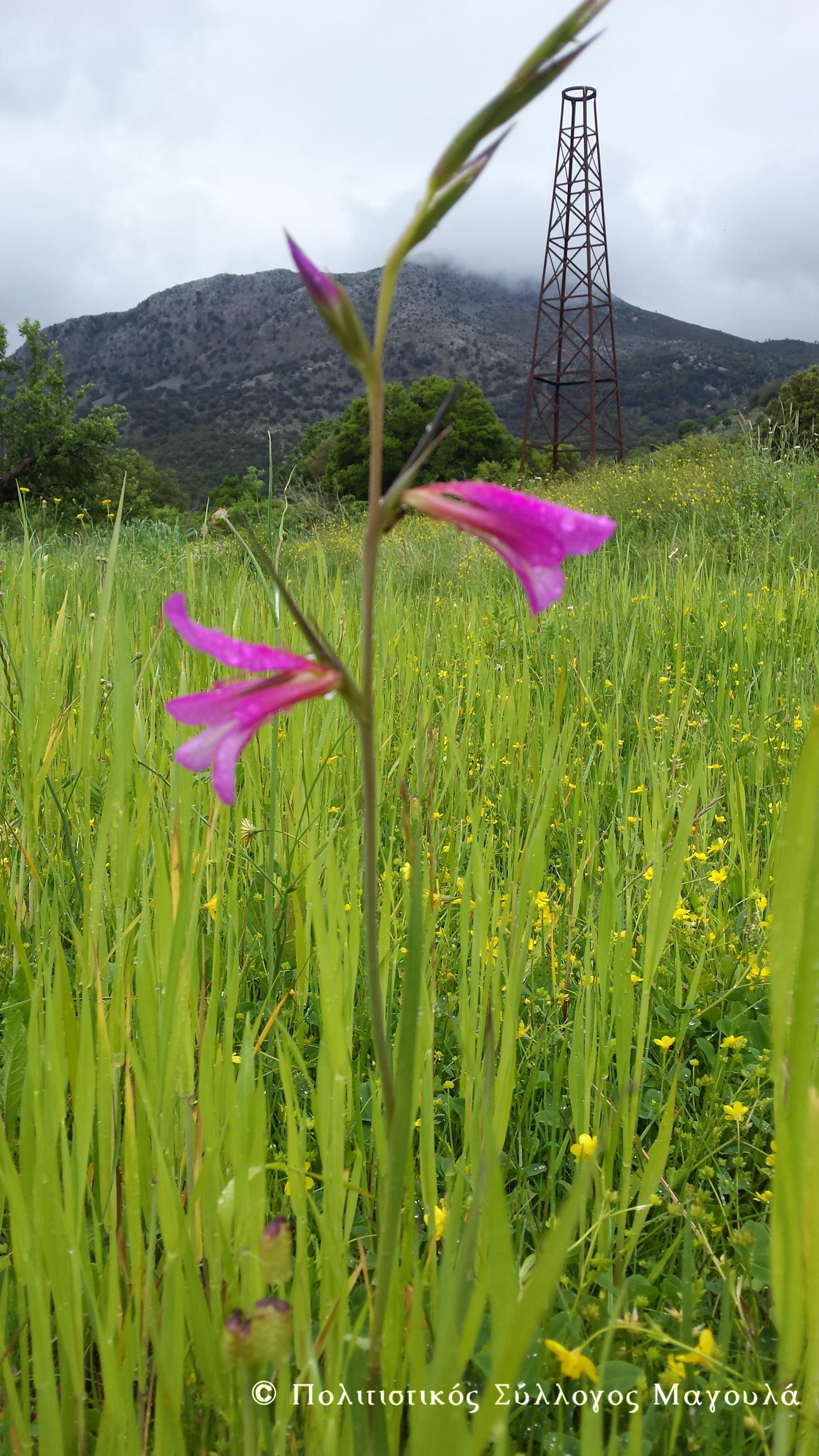 """Λουλούδια του κάμπου """"μαχαιρίδα""""- Flowers of lasithi plain"""