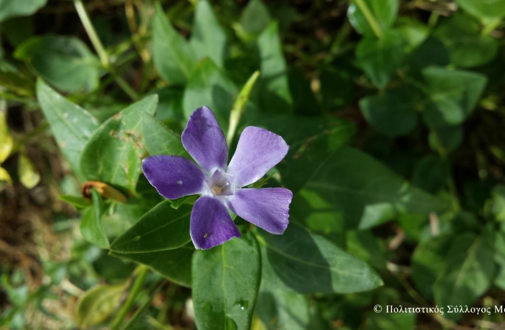 """Λουλούδια του κάμπου """"αγριολίζα ή ψακί""""- Flowers of lasithi plain"""