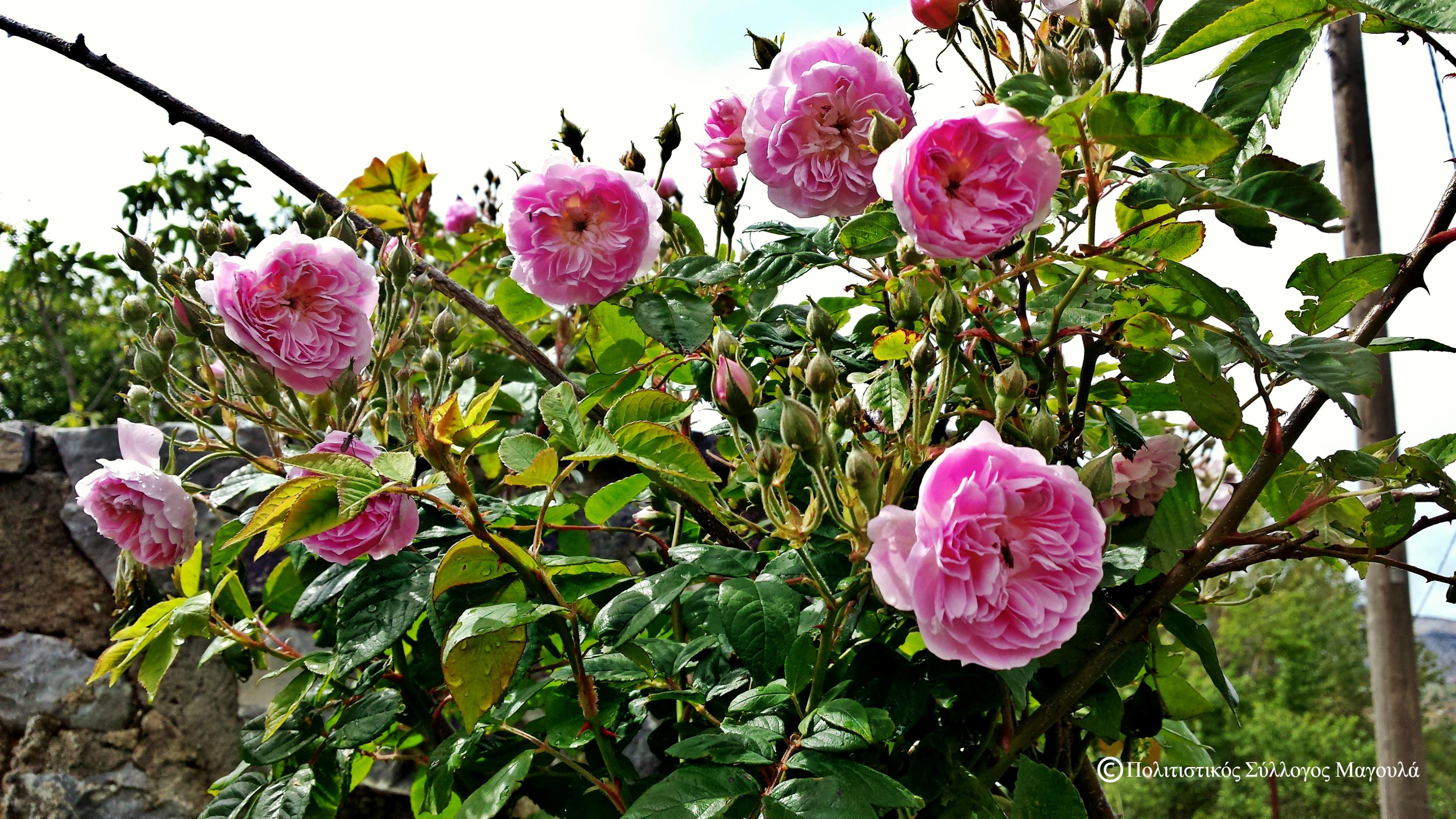 Ρόδα του σχολειού- Roses of Magoula's school
