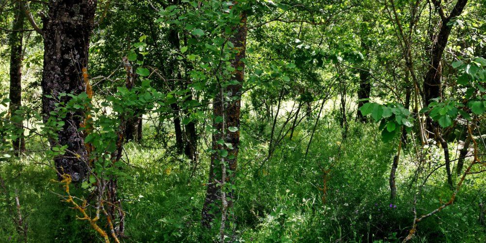 Κερασιές του Κλώρου- Cherries trees of Kloros
