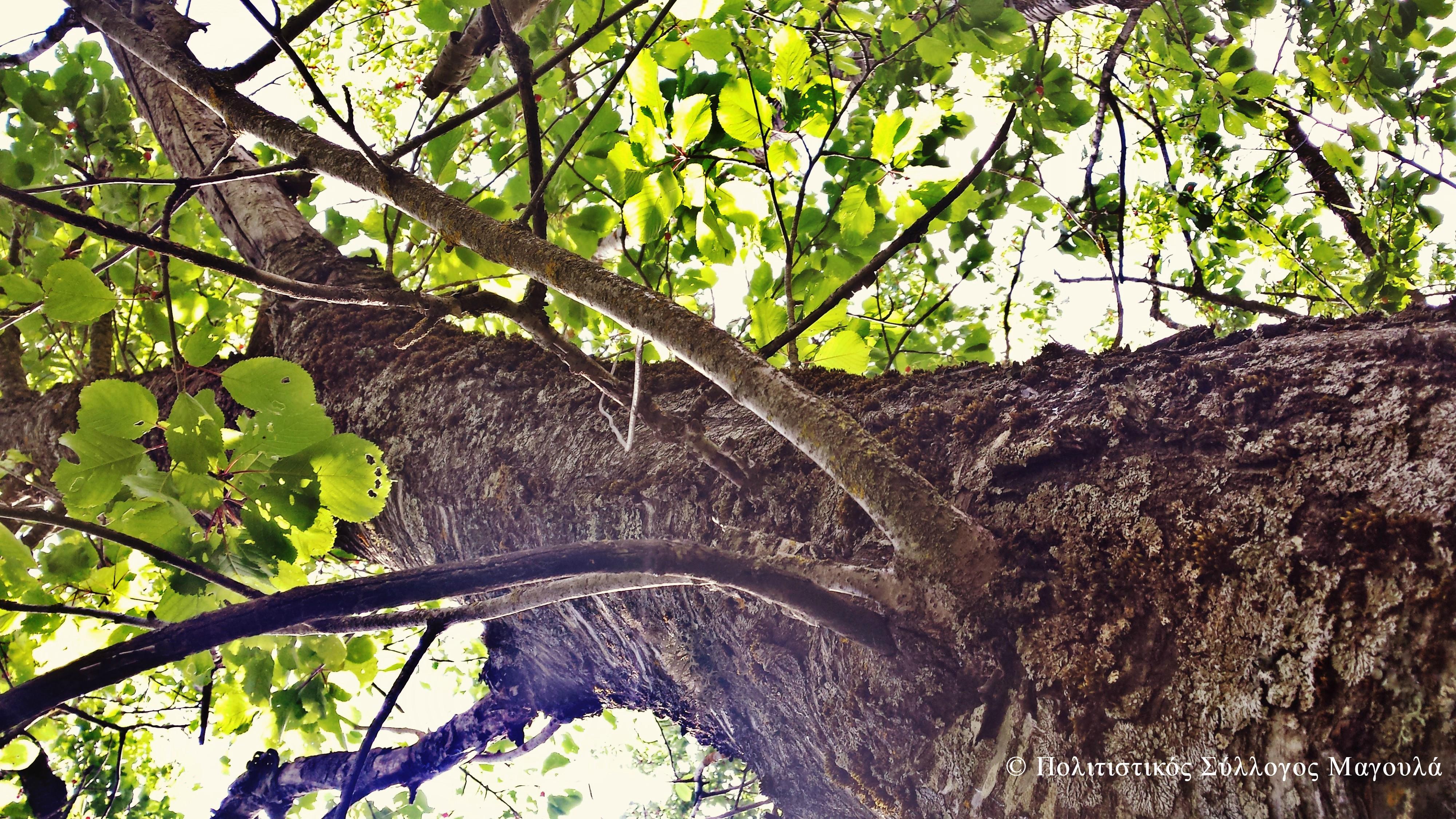 Κερασιά- Cherry Tree