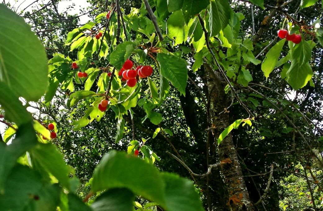 Τα κεράσια του Κλώρου- The cherries of Kloros