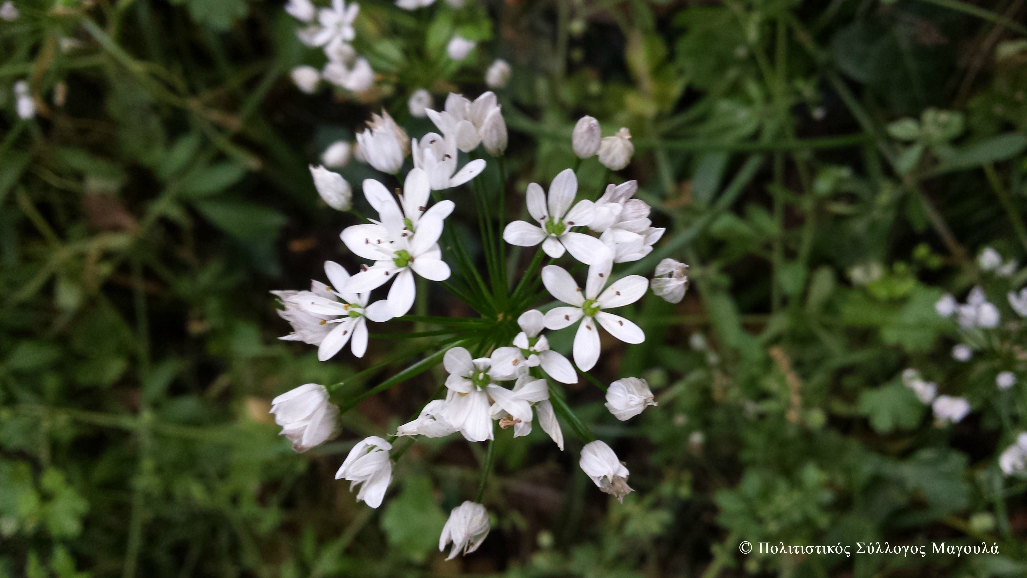 Λουλούδια του νερόμυλου- Flowers of the watermill