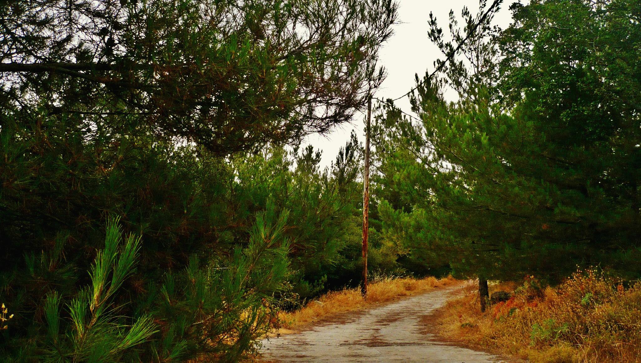 Πεύκα Αφέντη Χριστού Μαγουλά- Trees of Afenti Xristo in Magoula