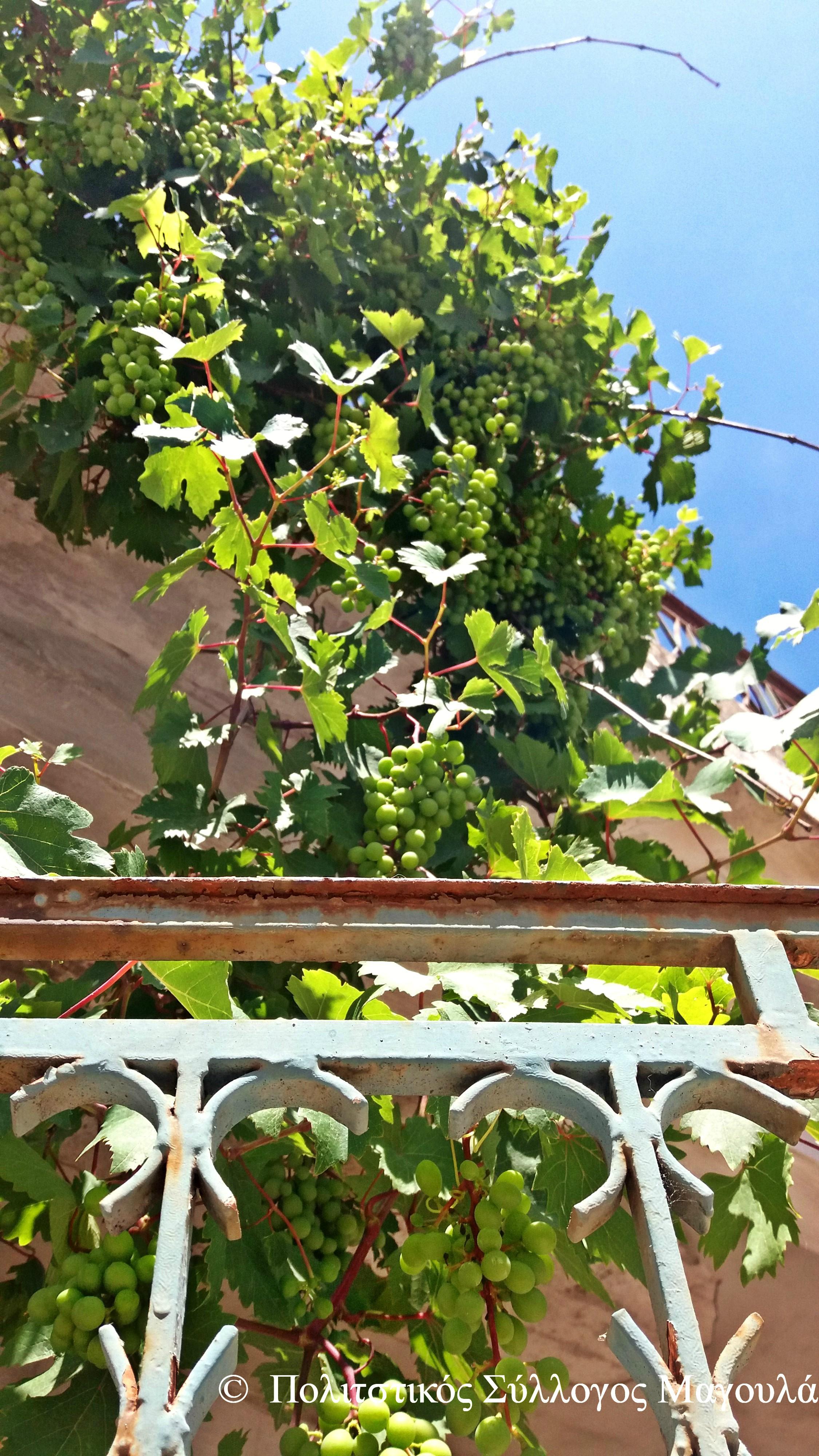 Κληματαριά με σταφύλια σε κάθε σπίτι του χωριού- Grapes in every house of the village
