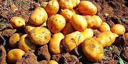 Βασικό προϊόν του λασιθιώτικου κάμπου, η πατάτα- One of the basic products of Lasithi's plain is the potato