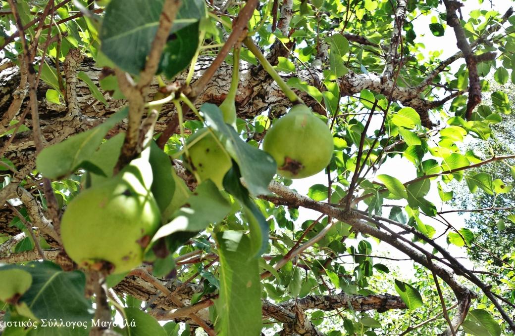 Αχλαδιές στα Ριμάμπελα- Pear trees in Rimabela